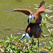 Small photo of African Jacanas (Actophilornis africanus) mating