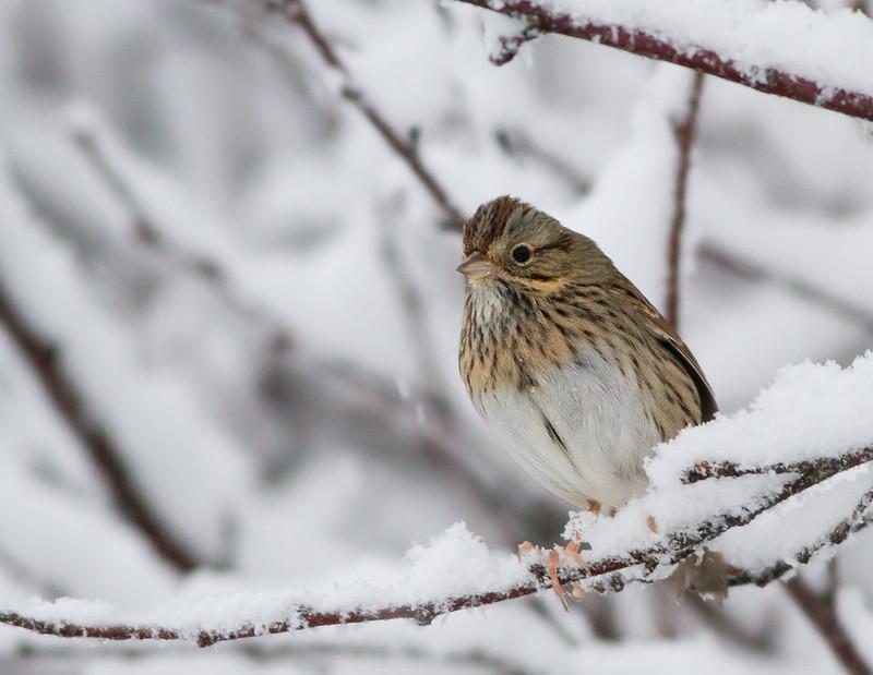 Brjósttittlingur - Lincoln's sparrow - Melanspiza lincolnii