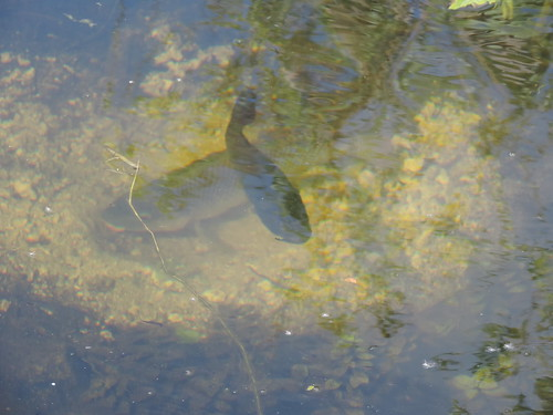 Tilapia guarding nest