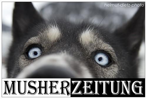 blue-eyes-Siberian-Husky-Foto: Helmut Dietz, Musherzeitung, Bielefeld