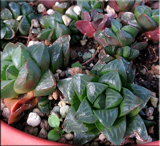 suculentas en venta  haworthia cv otzeni