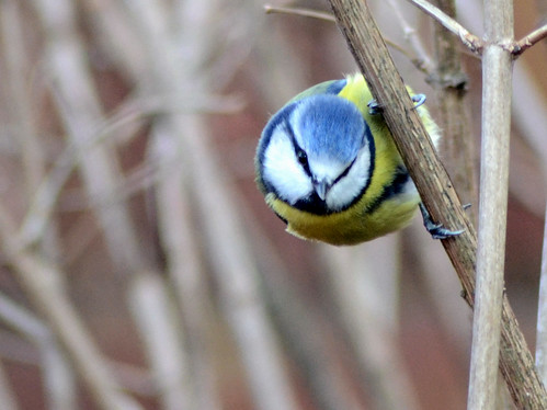 Blue Tit by spikey_64