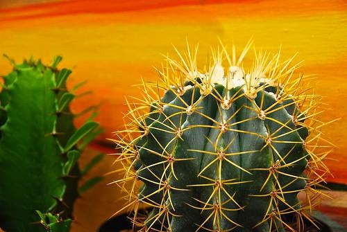 sunset plant cacti indoor echinocactus spiny barrelcactus nikond80