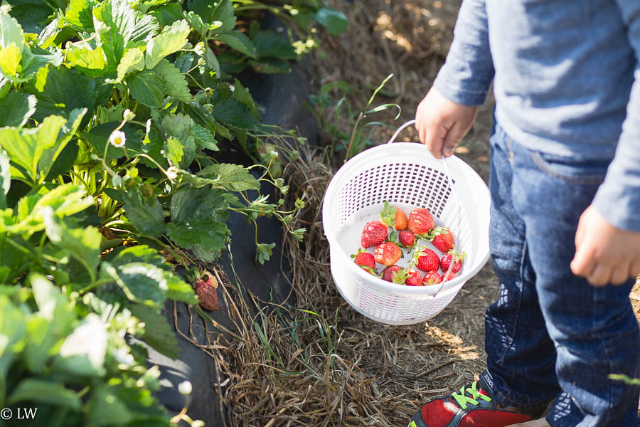 southern belle farm strawberries-6