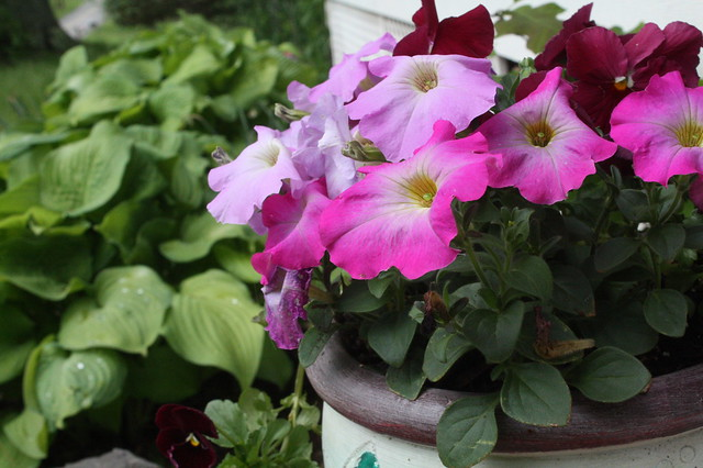 Petunias on the front step