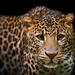 Persian leopard by DIVCI KAMEN www.divcikamen.com