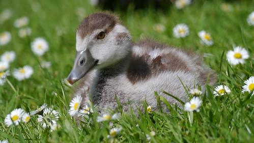 park kewgardens bird london nature kew lumix geese spring wildlife richmond westlondon egyptiangoose spring2014
