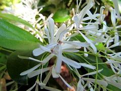 blossom(0.0), shrub(0.0), erythronium(0.0), hymenocallis(1.0), flower(1.0), hymenocallis littoralis(1.0), plant(1.0), wildflower(1.0), flora(1.0),