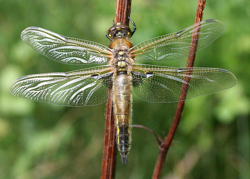 Four-spotted Chaser Libellula quadrimaculata Tophill Low NR, East Yorkshire May 2014