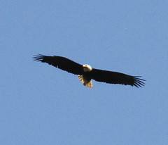 animal, bird of prey, eagle, wing, vulture, fauna, bald eagle, accipitriformes, beak, bird, flight, condor,