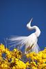 Série com a Garça-branca-grande, no topo do Ipê-Amarelo - Series with the Great Egret (Casmerodius albus, sin. Ardea alba) at the top of the Trumpet tree, Golden Trumpet Tree (Tabebuia [chrysotricha or ochracea]) - 02-09-2015 - IMG_8744