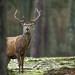 Hert / Red deer / Cerf by Gladys Klip