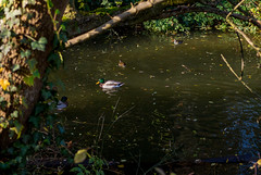 Ducks swimming in a pond in the forest