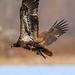 Eagle-3805.jpg by HVargas