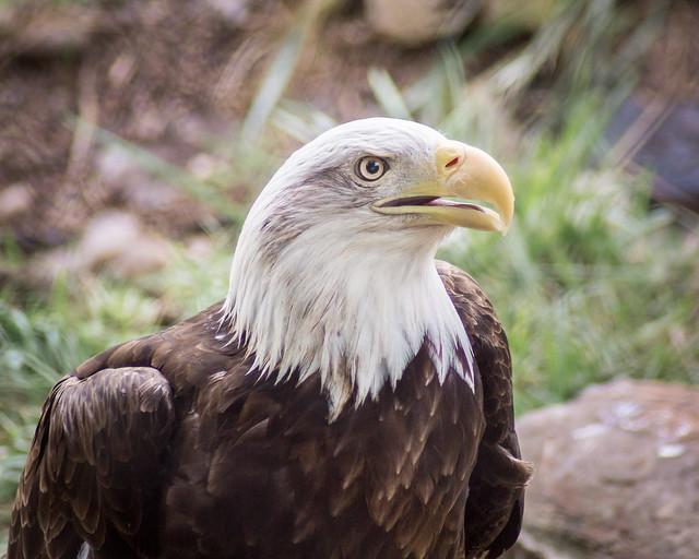 Bald Eagle, Eagle,