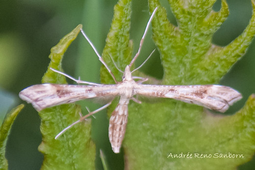 Gillmeria pallidactyla - Hodges#6107