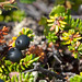 Black Crowberry - Photo (c) Sergey Yeliseev, some rights reserved (CC BY-NC-ND)