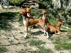 dog sports(0.0), animal sports(0.0), sighthound(0.0), sports(0.0), dog breed(1.0), animal(1.0), hound(1.0), dog(1.0), pet(1.0), podenco canario(1.0), ibizan hound(1.0), carnivoran(1.0), basenji(1.0), terrier(1.0),