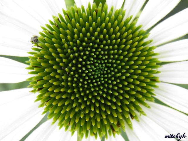 Green Swirl -Echinacea 1