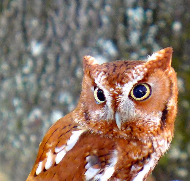 Eastern Screech Owl-Week 39