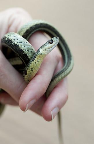 Garter Snake, In-Hand I