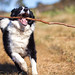 Border collie sheep dog running with stick in mouth by Robert Lang Photography