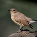 Red-throated Flycatcher (Female)