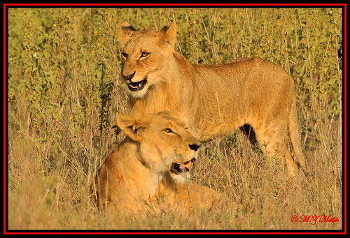 SEMI MALE ADULT CUB WITH FEMALE LIONESS (Panthera leo).......NAIROBI NAT.PARK......OCT 2013