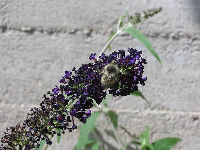 Bumblebee, Bombus veteranus