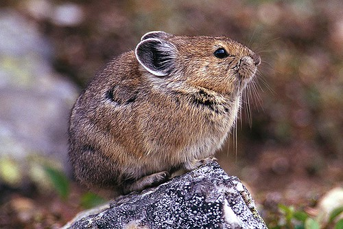 Wildlife in British Columbia, Canada: Pika