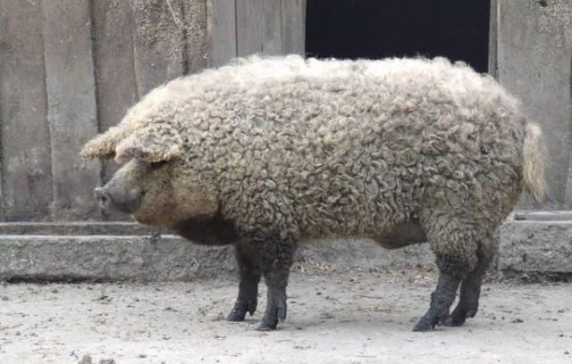 Fogonazos  Este cerdo con pinta de oveja no es un fake d39dc89749f6