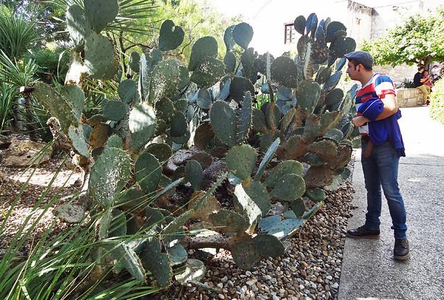 alamo-cacti