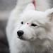 Beautiful Wolf Pooch by nicksingleton2007
