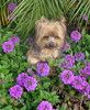 Teddy in the Verbena