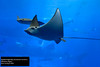 Spotted Eagle Ray (Aetobatus narinari) by Dave 2x