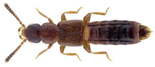 Anomognathus cuspidatus (Erichson, 1839)  Male