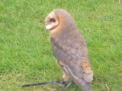 It's the European Barn Owl IMG_2405