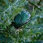 magyar virágbogár - Protaetia ungarica