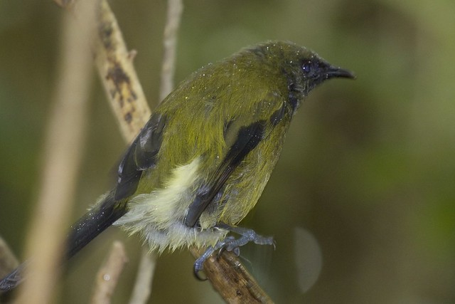 Slightly damp bellbird