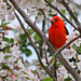 Scarlet Tanager (1 of 6) at Richard DeKorte Park (Meadowlands), Lyndhurst, NJ by takegoro