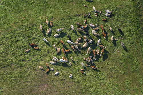 Cattle from above