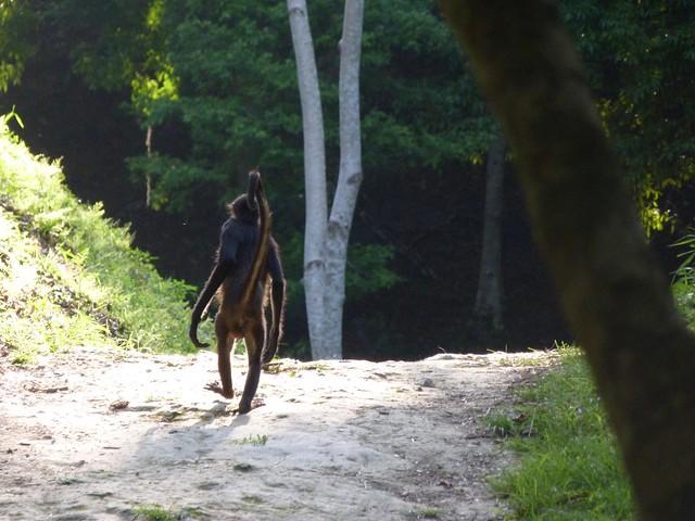 Mono araña caminando por la selva en Tikal (Guatemala)