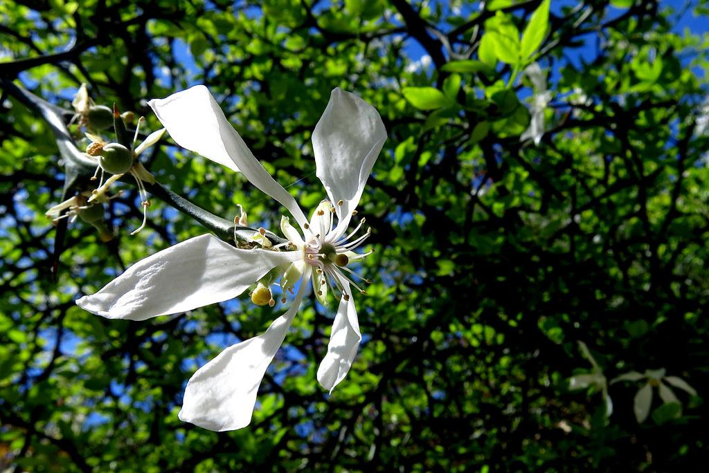 Poncirus trifoliata OR Citrus trifoliata