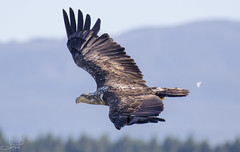 harrier, animal, hawk, bird of prey, eagle, wing, vulture, fauna, buzzard, accipitriformes, beak, bird, flight, wildlife,