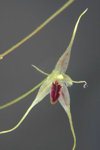 Muscarella species Colombia
