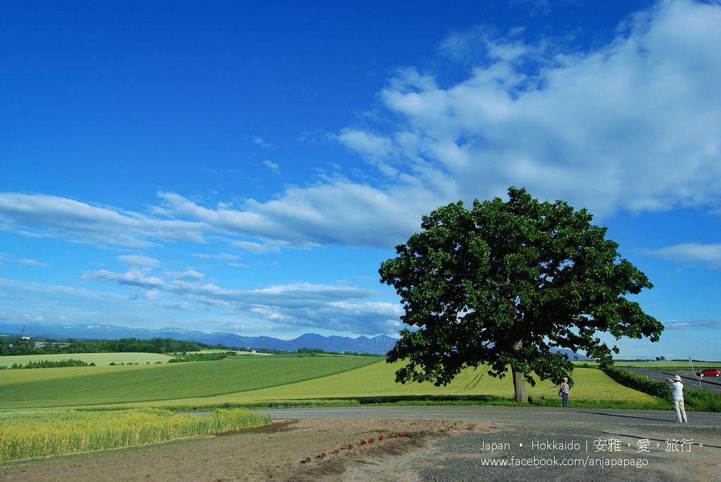 《北海道自驾游》Seven Star Tree セブンスターの木:拼布之路一号景点。