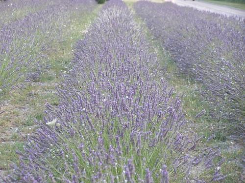 Motorway lavender
