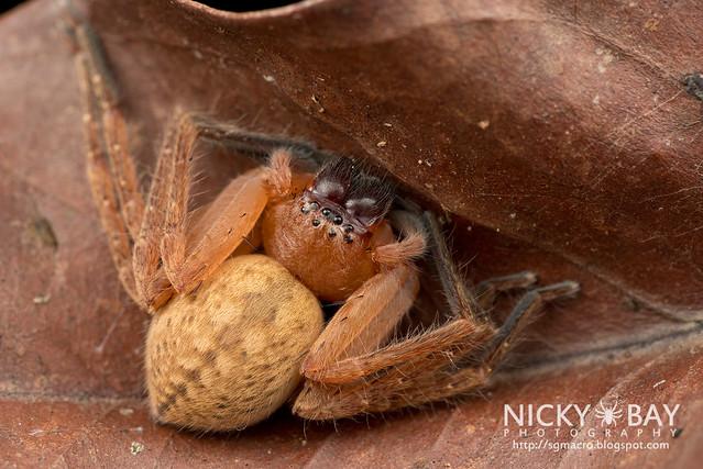 Huntsman Spider (Sparassidae) - DSC_1800