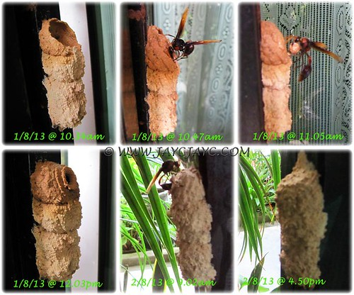 Collage showing nest-building by a Potter/Mason Wasp of the genus, Delta - Aug 1-2, 2013