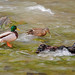 2nd Place - Scenics - Terry Guthrie - Mallards on the Virgin River